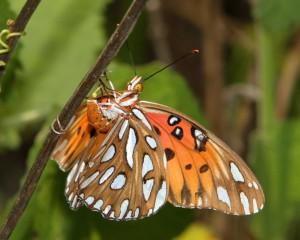 Gulf Fritillary, c.hart