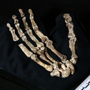 A mounted photo of the Homo naledi's hand from the Rising Star Cave in South Africa.