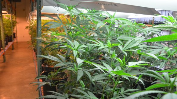 Marijuana Project Head to Deliver Pharmacy School's Waller Lecture